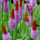 Rare Orchid Primrose Primula vialii - 25 Seeds