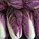 Red Purple Napa Cabbage Merlot Brassica rapa pekinensis - 25 Seeds