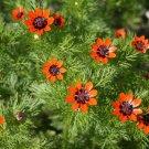Red Summer Pheasant's Eye Herb Adonis aestivalis - 100 Seeds