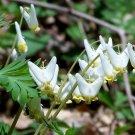 Perennial Dutchman's Breeches Dicentra cucullaria - 20 seeds