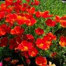 California Poppy Red Eschscholzia californica - 200 Seeds