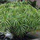 Tall Umbrella Plant Water Palm Papyrus Cyperus Alternifolius - 1 Live Plant (not Seeds)