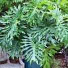 Split Leaf Philodendron bipinnatifidum Selloum - 25 Seeds