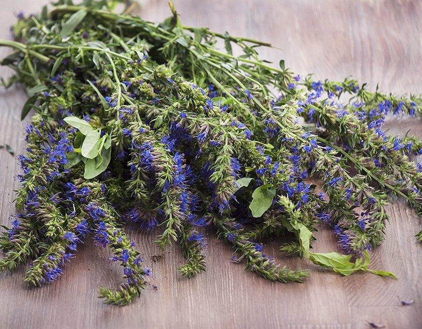 Hyssop Medicinal Herb Organic Hyssopus officinalis - 100 Seeds