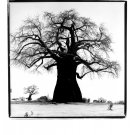 "Black & White Original Gallery Print * WILLOW TREE * 20"" x 25"" Rare 1995 Mint"