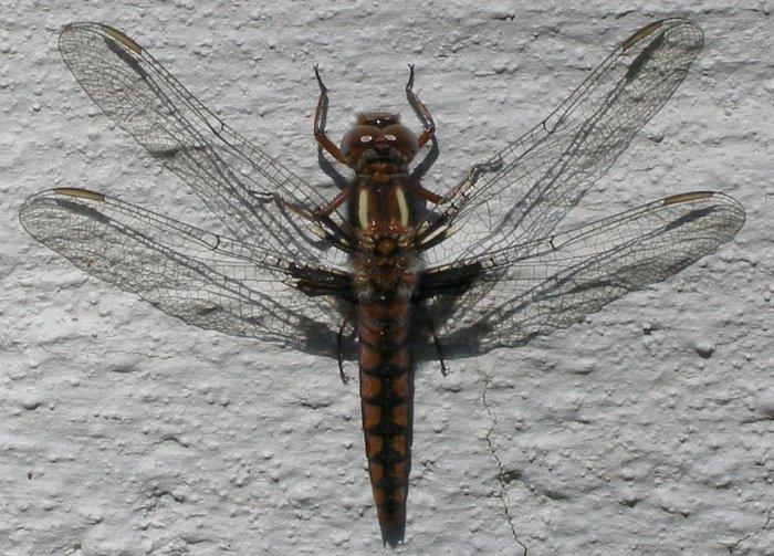 Firefly 4X6