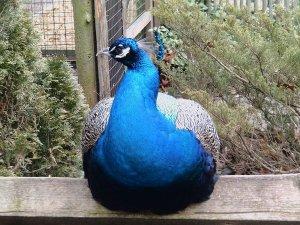 Peacock 4X6