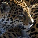 Jaguar in the Light