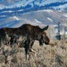 Springtime Bull