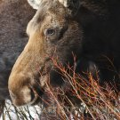 "Snowy Moose Portrait - 20""x 30"" Signed Print"