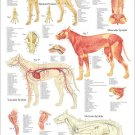 Dog Anatomy Veterinary Poster 24 X 36 Canine Wall Chart