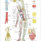 "Circulatory System Lymphatics Anatomy Poster 18"" X 24"" Medical Wall Chart"