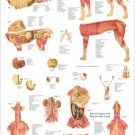Dog Internal Anatomy Veterinary Poster 24 X 36 Canine Wall Chart