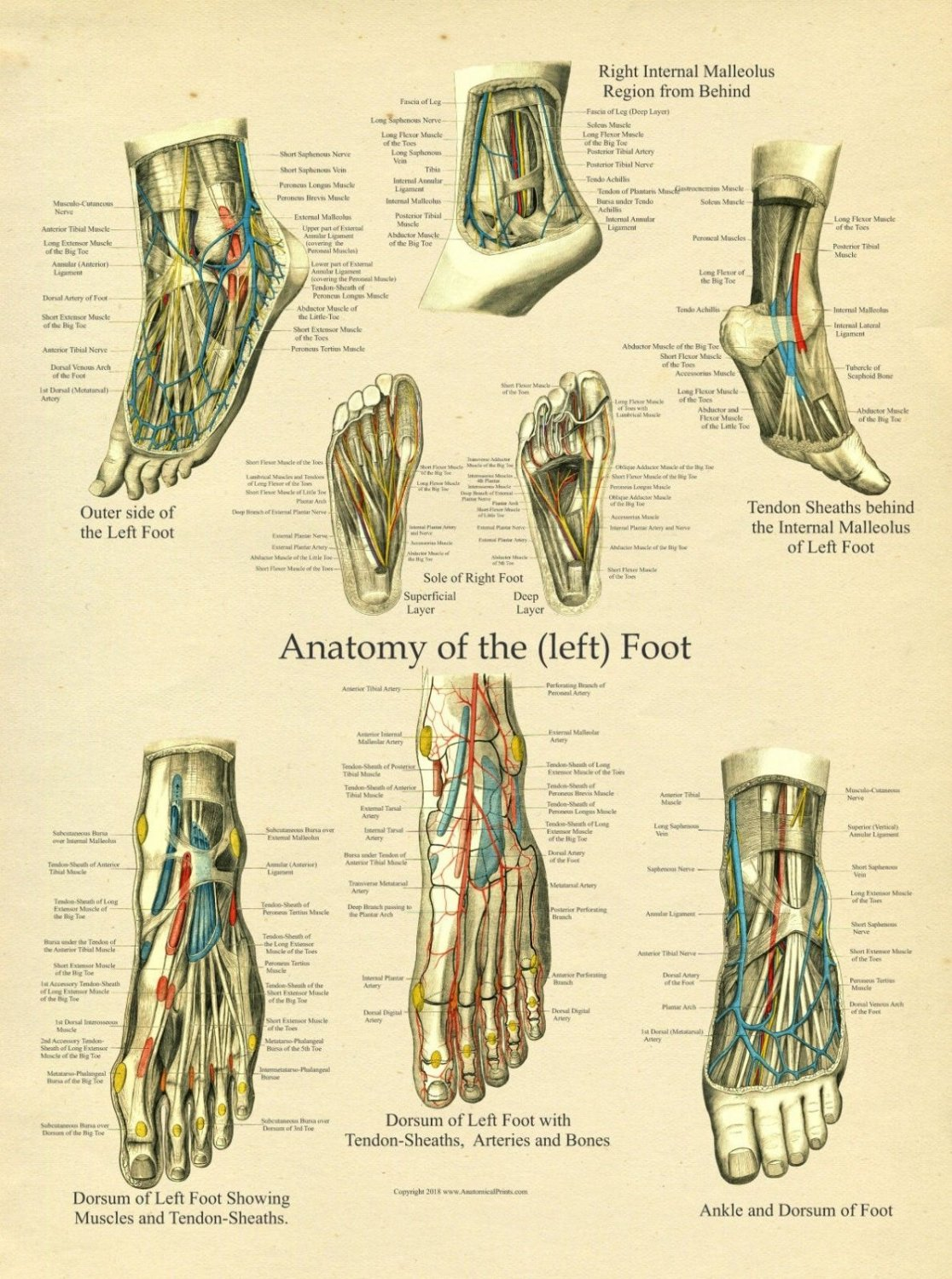 """Foot and Ankle Anatomy Poster 18"""" X 24"""" Medical Anatomical Chart"""