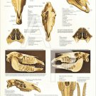 Horse Skull Bones Anatomy Veterinary Poster 24 X 36 Wall Chart