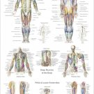 "Anterior, Posterior Muscle Anatomy Poster 24"" X 36"" Medical Anatomical Chart"