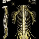 "Spine and Spinal Nerves Poster 18"" X 24"" Medical Chiropractic Anatomy Chart"