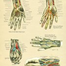 "Hand and Wrist Anatomy Poster 18"" X 24"" Medical Anatomical Chart"