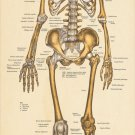 "Large Skeletal Anatomy Poster 24"" X 60"" Anterior Skeleton Wall Chart"