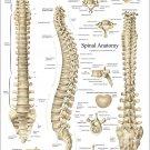 "Spine Anatomy Poster Human Spinal Vertebrae 18"" X 24"" Chiropractic Chart"
