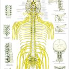 """Spinal Nerves and Subluxations Poster 24"""" X 36 Chiropractic Wall Chart"""
