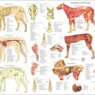 """Dog Anatomy Poster 18"""" X 24"""" Muscle Skeletal Wall Chart"""