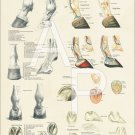 """Horse Foot and Hoof Anatomy Poster 18"""" X 24"""" Equine Wall Chart"""