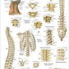 """Human Spine Spinal Anatomy Poster Wall Chart 24"""" X 36"""" Chiropractic"""