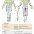 """Dermatomes, Myotomes DTR Nerve Chiropractic Poster Wall Chart 24"""" X 36"""""""