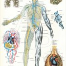 Veins Lungs Human Anatomy Poster 24 X 36 Anatomical Chart Vintage Images