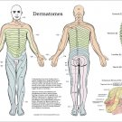 """Dermatomes Nerve Innervation Poster 18"""" X 24"""" Chiropractic Wall Chart"""
