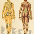 """Female Muscle Skeletal System Anatomy Poster 18"""" X 24"""" Medical Anatomical Chart"""