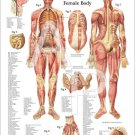 """Female Muscles and Viscera Anatomy Poster 18"""" X 24"""" Medical Anatomical Chart"""