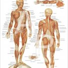 """Muscular System Anatomy Poster 18"""" X 24"""" Medical Anatomical Chart"""