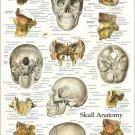 "Bones of the Human Skull Anatomy Poster 18"" X 24"" Medical Skeletal Wall Chart"