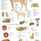 Horse Nervous System Organs Anatomy Veterinary Poster 24 X 36 Wall Chart
