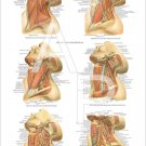 """Muscles Arteries Nerves Neck Anatomy Poster 24"""" X 36"""" Anatomical Chart"""