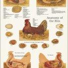 """Chicken Veterinary Anatomy Poster 24"""" X 36"""" Wall Chart Fowl"""