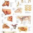"Ox Bovine Cow Veterinary Anatomy Poster 24"" X 36"" Wall Chart"