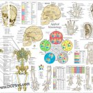 Applied Kinesiology AK Poster 24 X 36 Chiropractic Acupuncture Chart