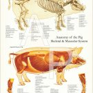 """Pig Muscle Skeletal Veterinary Anatomy Poster 18"""" X 24"""" Wall Chart"""