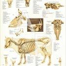 "Cow Bovine Skeletal Veterinary Anatomy Poster 24"" X 36"" Wall Chart"