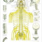 """Spinal Nerves and Subluxations Poster 18"""" X 24"""" Chiropractic Wall Chart"""