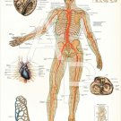 Heart Arteries Human Anatomy Poster 24 X 36 Anatomical Chart Vintage Images