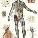 Nervous System Spinal Anatomy Poster 24 X 36 Anatomical Chart Vintage Images