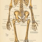 "Large Skeletal Anatomy Poster 24"" X 60"" Posterior Skeleton Wall Chart"