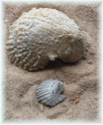 2 Exogyra Shells