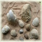 Collection of  Eleven Cretaceous Fossils from Alabama