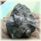 Shell Cast Statue Cretaceous Fossil from Alabama