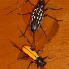 Lifelike Long Horned Beetle